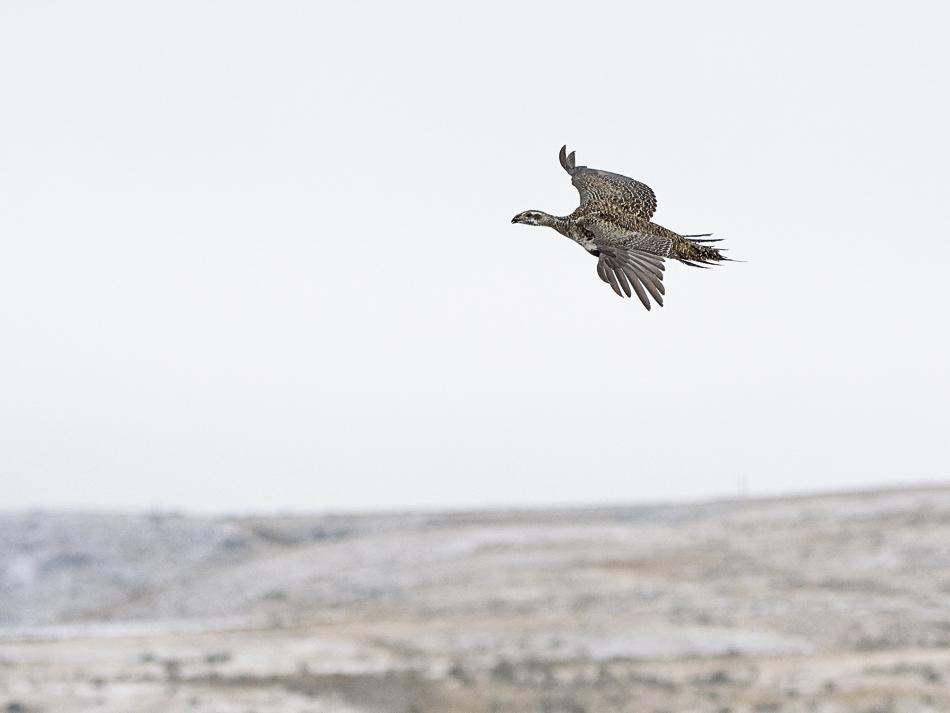 A greater sage-grouse flies above a brown prairie landscape