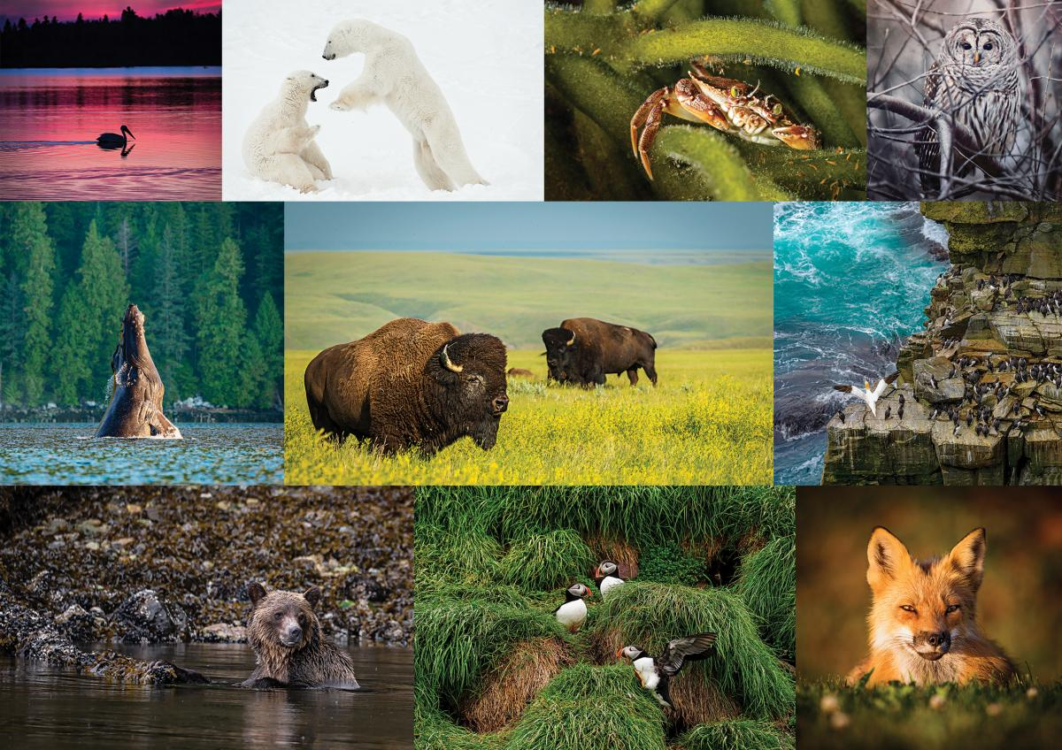 a collage of wildlife photos including bison, grizzly bears, polar bears, foxes, owls and whales