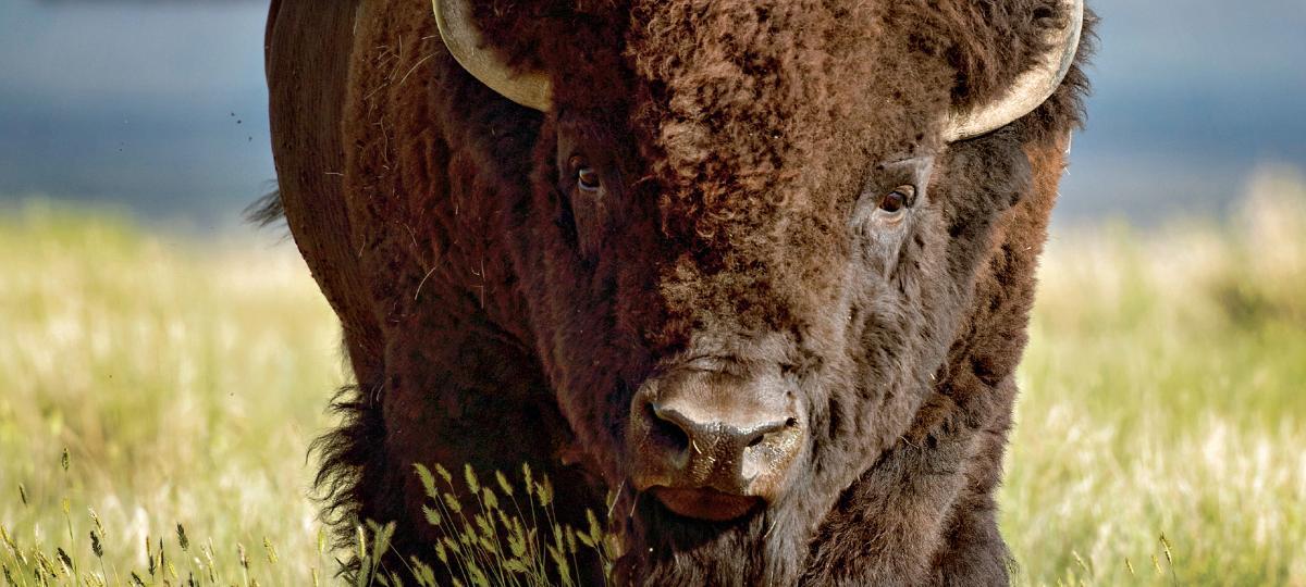 Cover vote, July/August issue, bison, grasslands