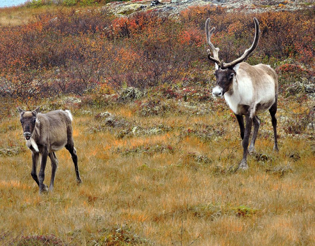 Endangered caribou