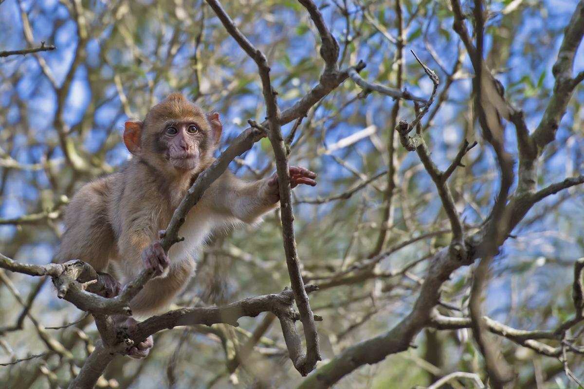 Gibraltar Macaque