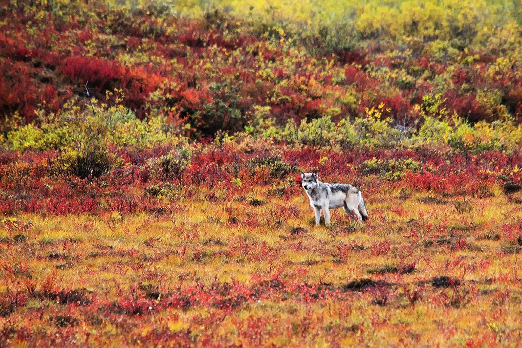 Tundra wolf fall colours