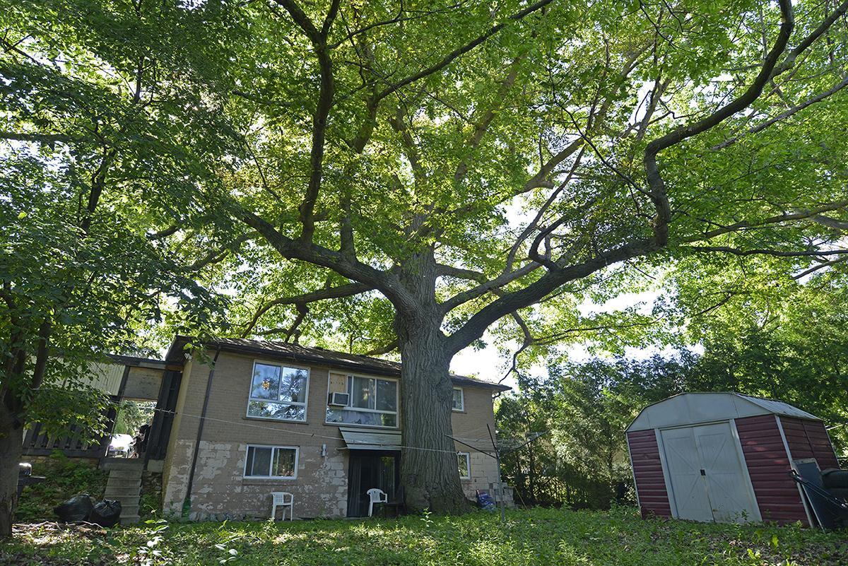 Zhelevo oak tree Toronto