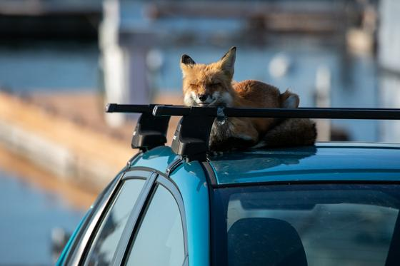 Red fox napping on car