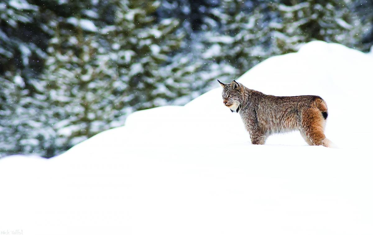 A Canada lynx stands alert in the snow