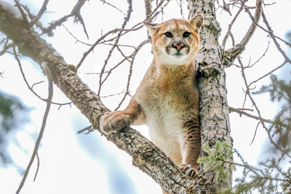 A cougar sits in a tree