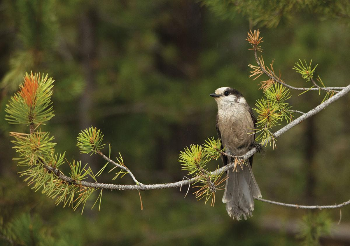 Canada jay on a branch
