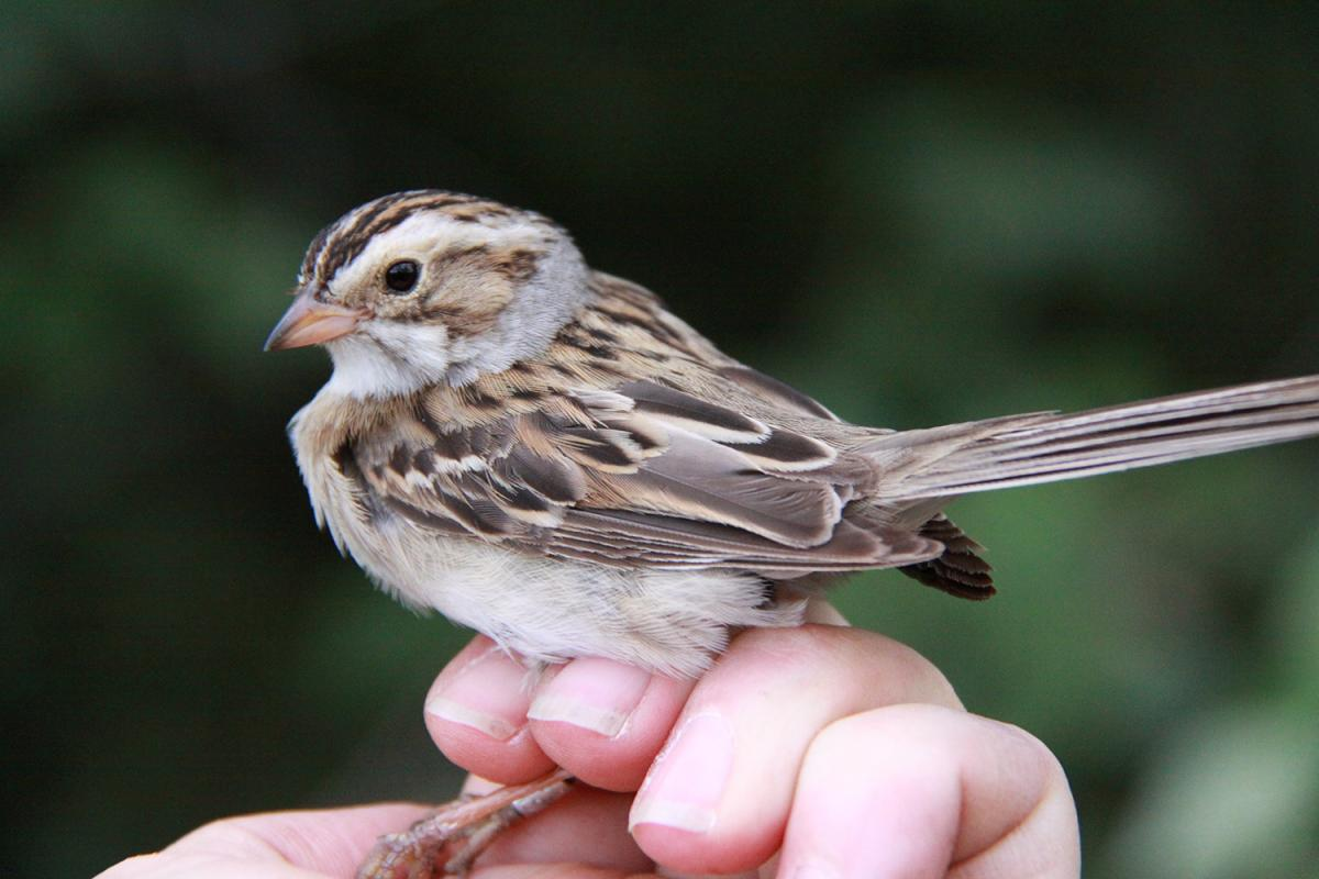 clay-coloured sparrow perching on a hand