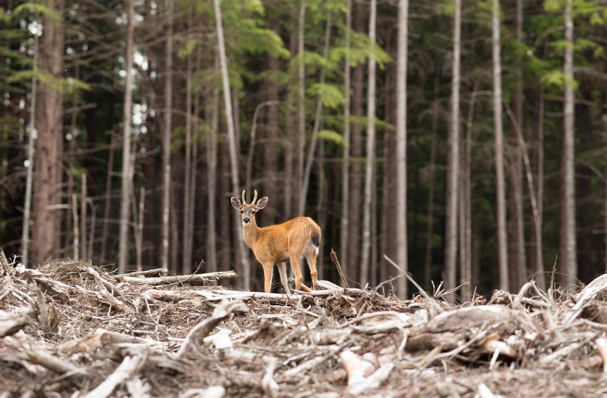 A deer explores a clearcut