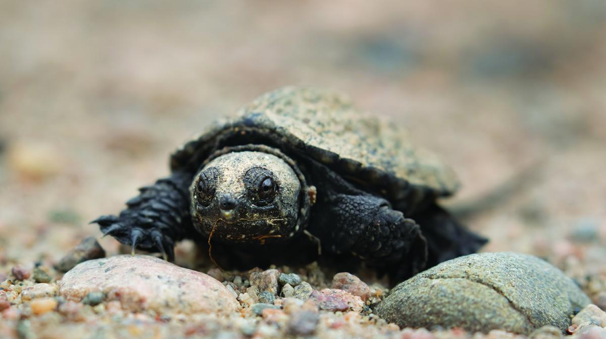 Snapping turtle hatchling