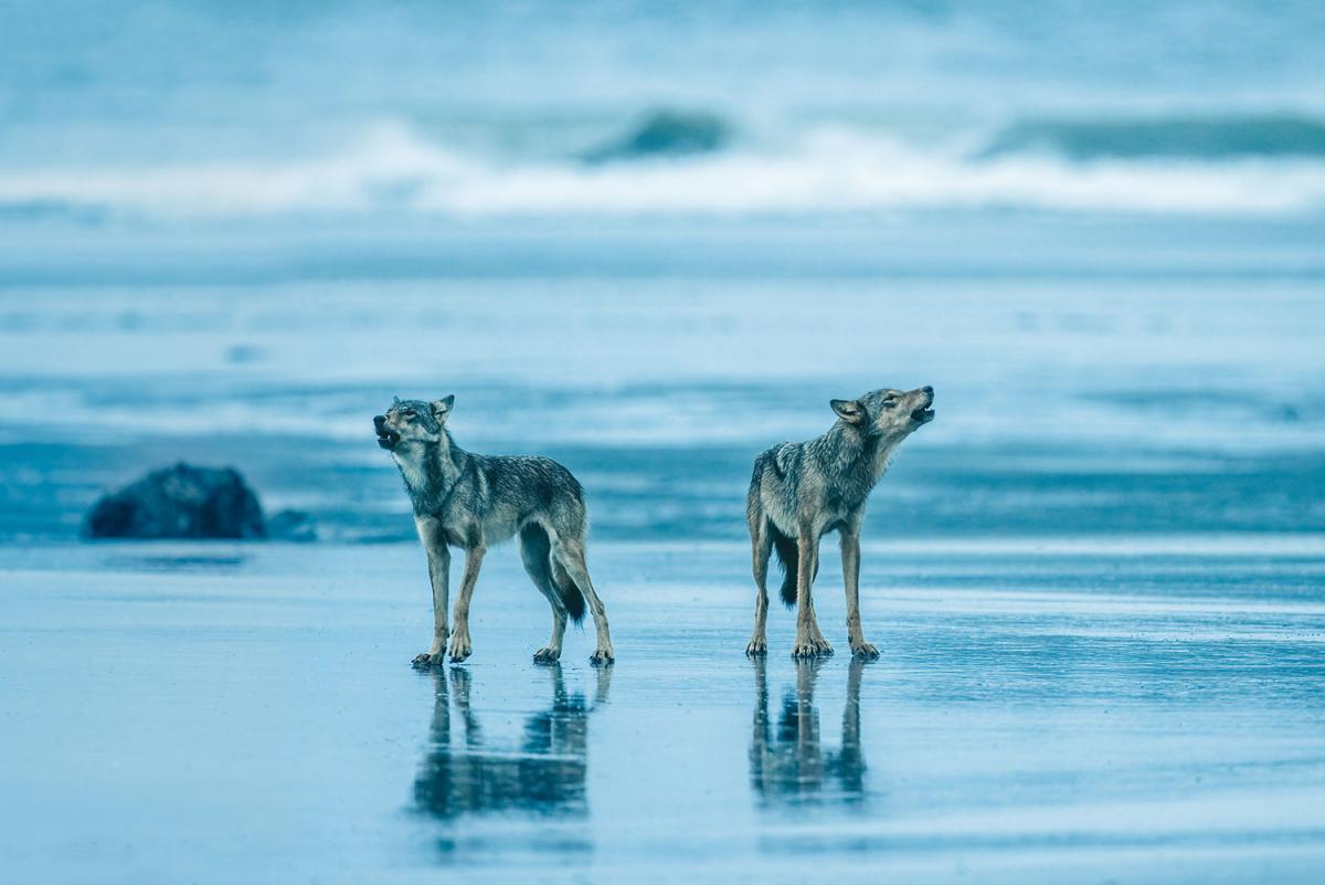 Two coastal wolves howl standing on wet sand in front of a blue ocean