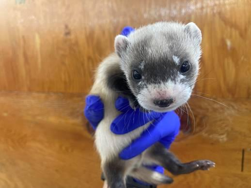 A black-footed ferret kit is held in a gloved hand in a wooden enclosure
