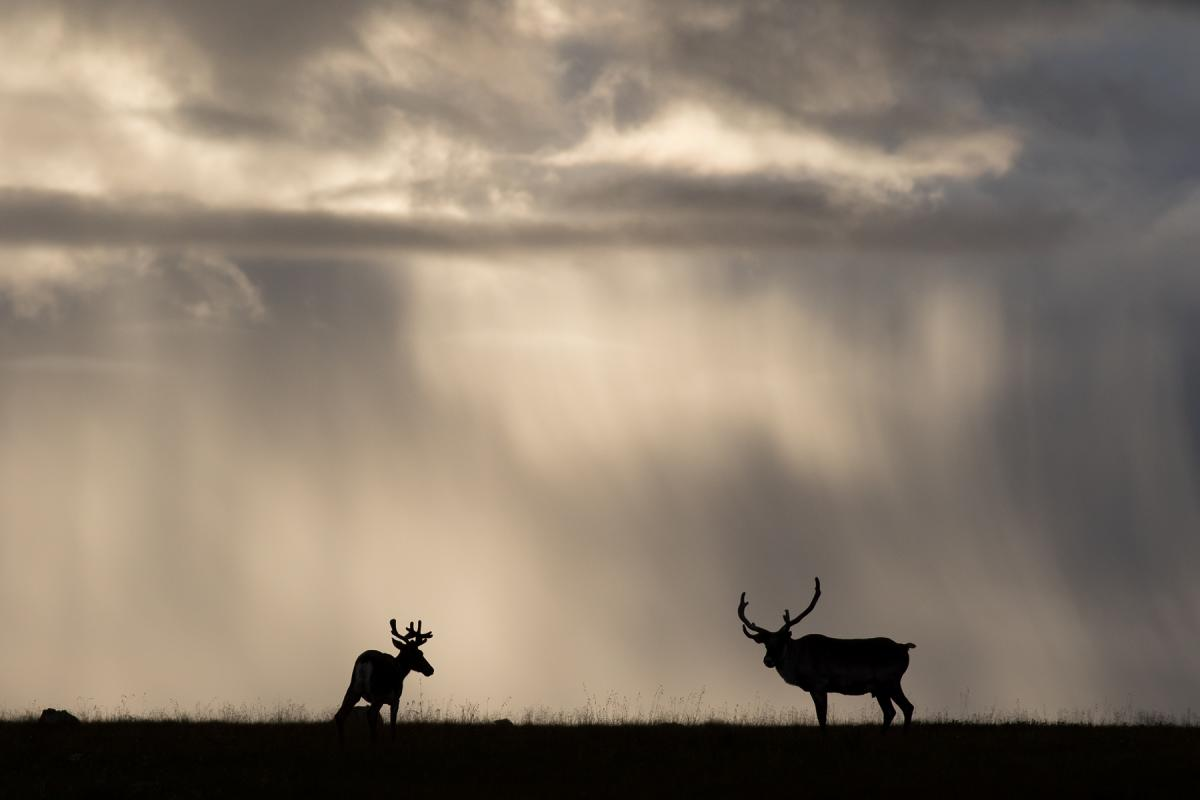 Two caribou silhouetted against a dark, rainy landscape