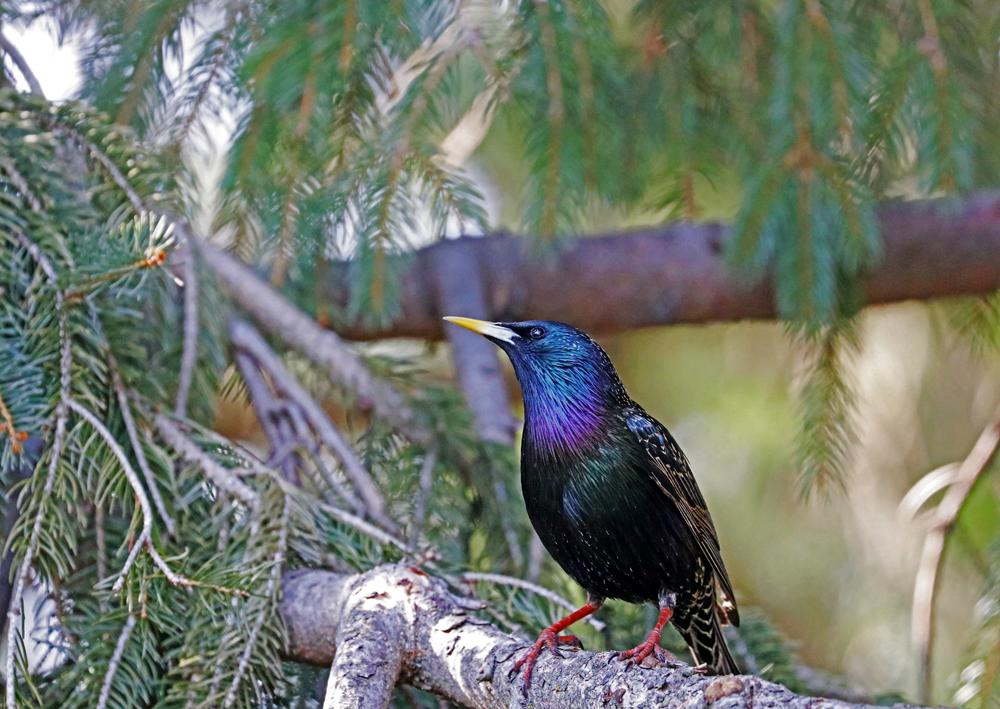 A European starling with iridescent feathers perched in a pine tree