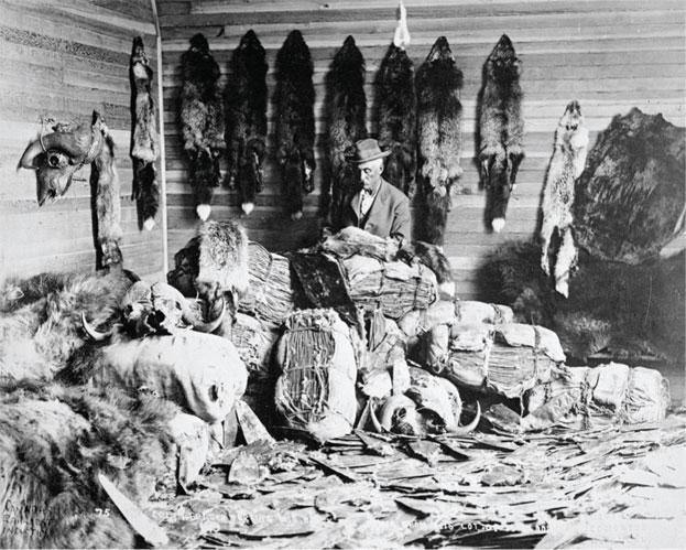 The focus of North America's first natural resource stampede, beaver pelts attracted legions of traders