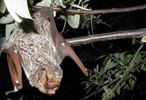 A hoary bat roosting on the branch of a tree. (Photo: Paul Cryan, U.S. Geological Survey/Wikimedia Commons)