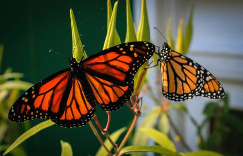 Photo: Monarch butterflies emerge from their chrysalis. (Photo: Wesley Pitts/CG Photo Club)