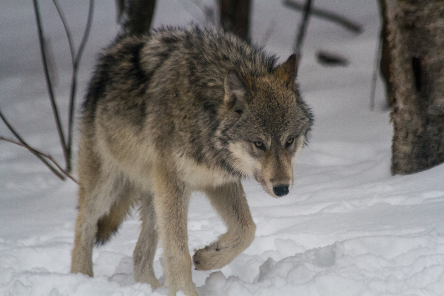 Male timber wolf